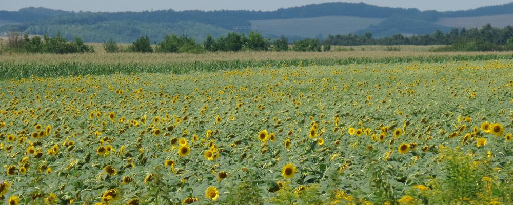 Ungarn-Sonnenblumenfeld 2015